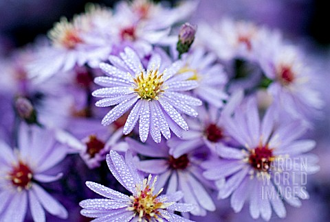 ASTER_LITTLE_CARLOW