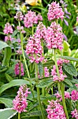 STACHYS OFFICINALIS ROSEA SUPERBA, PINK FORM OF COMMON BETONY