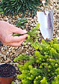 PROPAGATION OF SEDUM BY DIVISION, DIGGING OUT PART OF THE GROWING PLANT