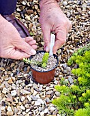 PROPAGATION OF SEDUM, DIVISION NOW POTTED, GRITTED AND LABELLED
