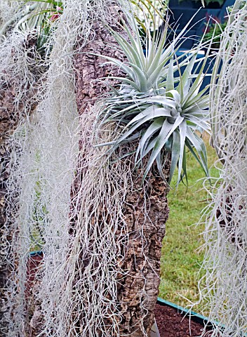 AIRPLANTS_TILLANDSIA_LATIFOLIA_AND_TILLANDSIA_USNEOIDES_AT_HAMPTON_COURT_FLOWER_SHOW_2007