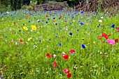 CORNFLOWERS, POPPIES AND OTHER ANNUALS GROWING IN NATURALISTIC MIXES AT THE RHS GARDEN, HARLOW CARR.