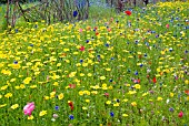 ANNUALS GROWING IN NATURALISTIC MIXES AT THE RHS GARDEN, HARLOW CARR.