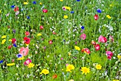 POPPIES, CORNFLOWERS, CORN MARIGOLDS AND OTHER ANNUALS GROWING IN NATURALISTIC MIXES AT THE RHS GARDEN, HARLOW CARR.