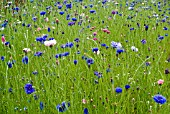 CORNFLOWERS SOWN AS A NATURAL MEADOW AT THE RHS GARDEN, HARLOW CARR.