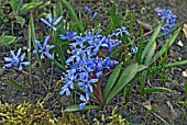 SCILLA BIFOLIA PLANTS GROWING IN MOSSY GROUND
