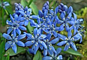 SCILLA BIFOLIA PLANTS CLOSE UP OF FLOWERS