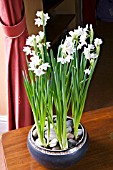 STEP BY STEP  NARCISSUS BULBS IN BOWL - IN FULL FLOWER 23 DAYS FROM PLANTING