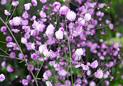 THALICTRUM_DELAVAYI_HEWITTS_DOUBLE_