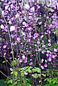 THALICTRUM DELAVAYI HEWITTS DOUBLE