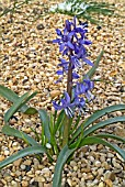 SCILLA GREILHUBERI PLANT FLOWERING IN SHINGLE