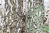 MATURE SILVER BIRCH TRUNKS, SHOWING FISSURED BARK WITH MOSSES AND LICHENS
