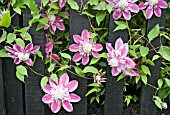 CLEMATIS JOSEPHINE GROWING ON A BLACK PAINTED FENCE