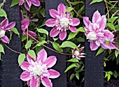 CLEMATIS JOSEPHINE GROWING THROUGH A BLACK PAINTED FENCE