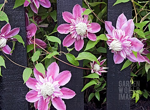 CLEMATIS_JOSEPHINE_GROWING_THROUGH_A_BLACK_PAINTED_FENCE