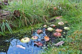SMALL WILDLIFE POND IN GRASS WITH FLOATING APPLES
