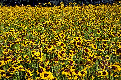 COREOPSIS_TINCTORIA_GROWING_IN_A__DRIFT