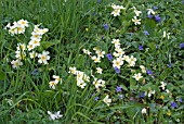 PRIMROSES AND VIOLETS IN ROUGH GRASS