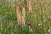 EREMURUS ROMANCE WITH STIPA GIGANTEA, GRASSES, KNAUTIA, MEADOW PLANTS AND ANNUALS