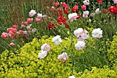 PAPAVER RHOEAS ANGELS CHOIR WITH ALCHEMILLA MOLLIS AND STIPA GIGANTEA