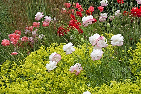 PAPAVER_RHOEAS_ANGELS_CHOIR_WITH_ALCHEMILLA_MOLLIS_AND_STIPA_GIGANTEA