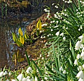 SHADED POOL WITH LEUCOJUM AESTIVUM GRAVETYE GIANT AND LYSICHITON AMERICANUS