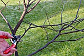 PRUNING CONGESTED STEMS ON A YOUNG TREE SERIES, 2, CUTTING THE FIRST CROSSING STEM.