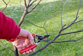 WINTER PRUNING CONGESTED STEMS, 4, FINAL BRANCHES BEING REMOVED