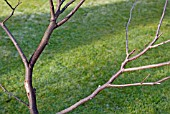 WINTER PRUNING CONGESTED STEMS ON A YOUNG TREE SERIES, 5, FINISHED TASK