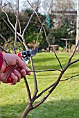 PRUNING A YOUNG CERCIS TREE, 3 REMOVING MORE CROSSING STEMS