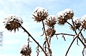 CARDOON HEADS CRUSTED WITH SNOW