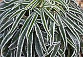 HOAR FROST ON LEAVES OF HELLEBORUS FOETIDUS
