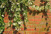 CLEMATIS NAPAULENSIS SEEDHEADS,  PLANT TRAINED AGAINST A BRICK WALL.