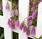 CAMPANULA  PUNCTATA RUBRIFOLIA AND WHITE PICKET FENCE