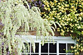 WHITE WISTERIA AGAINST BANKSIAN ROSE AND WISTERIA SINENSIS