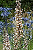 DIGITALIS LANATA AND ERYNGIUM COBALT STAR