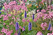 DIASCIA PERSONATA HOPLEYS WITH AGASTACHE FOENICULUM BLACK ADDER