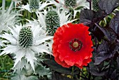FIELD POPPY WITH ERYNGIUM GIGANTEUM AND AGERATINA ALTISSIMA CHOCOLATE
