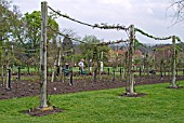 ROSES TRAINED ON POSTS AND ROPES AT RHS WISLEY,  WITH GARDENERS WORKING IN THE BACKGROUND