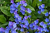 OMPHALODES CAPPADOCICA CHERRY INGRAM