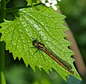 DAMSEL FLY,  NEWLY EMERGED,  RESTING ON ALLIARIA PETIOLATA