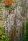 WISTERIA FLORIBUNDA ROSEA SHOWING FLOWERING RACEMES ON A FREE STANDING TREE.