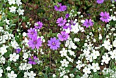 OMPHALODES LINIFOLIA WITH GERANIUM PYRENAICUM BILL WALLIS