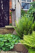FERNS AND LADYS MANTLE (ALCHEMILLA MOLLIS) IN AN OLD COTTAGE GARDEN
