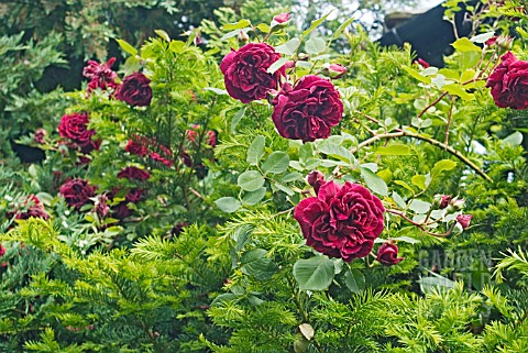 ROSA_GUINEE_GROWING_OVER_A_TAXUS_YEW_TREE