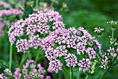 CHAEROPHYLLYM HIRSUTUM ROSEUM, (PINK COW PARSLEY)