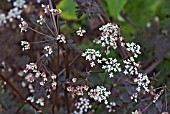 ANTHRISCUS SYLVESTRIS RAVENS WING   DARK LEAVED COW PARSLEY OR QUEEN ANNES LACE