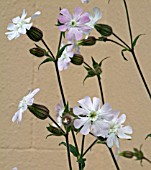 HYBRID CAMPION, SILENE ALBA CROSSED WITH SILENE DIOICA