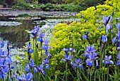 IRIS SIBIRICA PERRYS BLUE AND EUPHORBIA PALUSTRIS