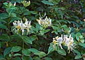 LONICERA PERICLYMENUM, HONEYSUCKLE, GROWING WILD IN ANCIENT WOODLAND